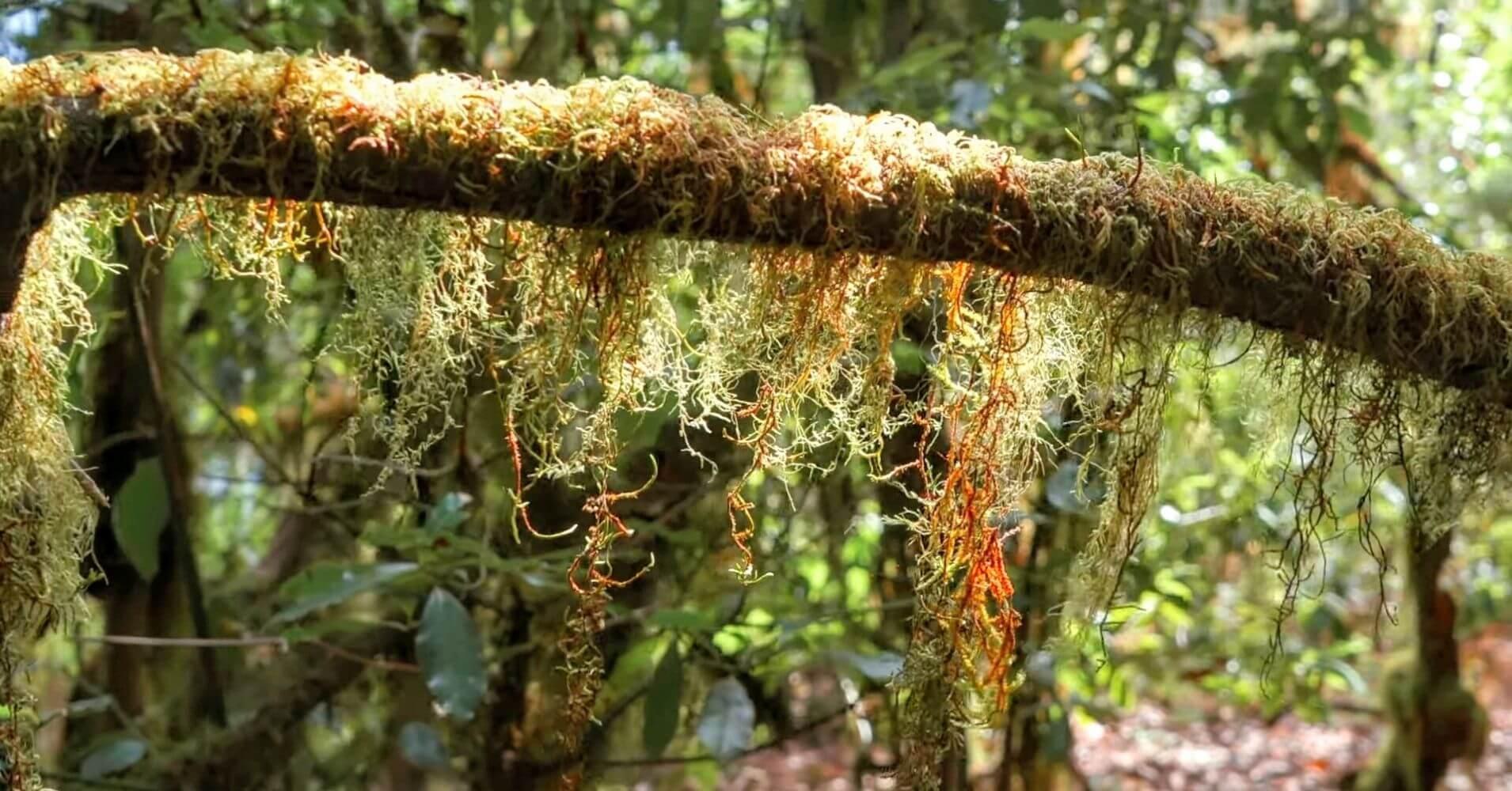Bosque de Laurasilva del Parque Nacional de Garajonay. La Gomera, Islas Canarias.