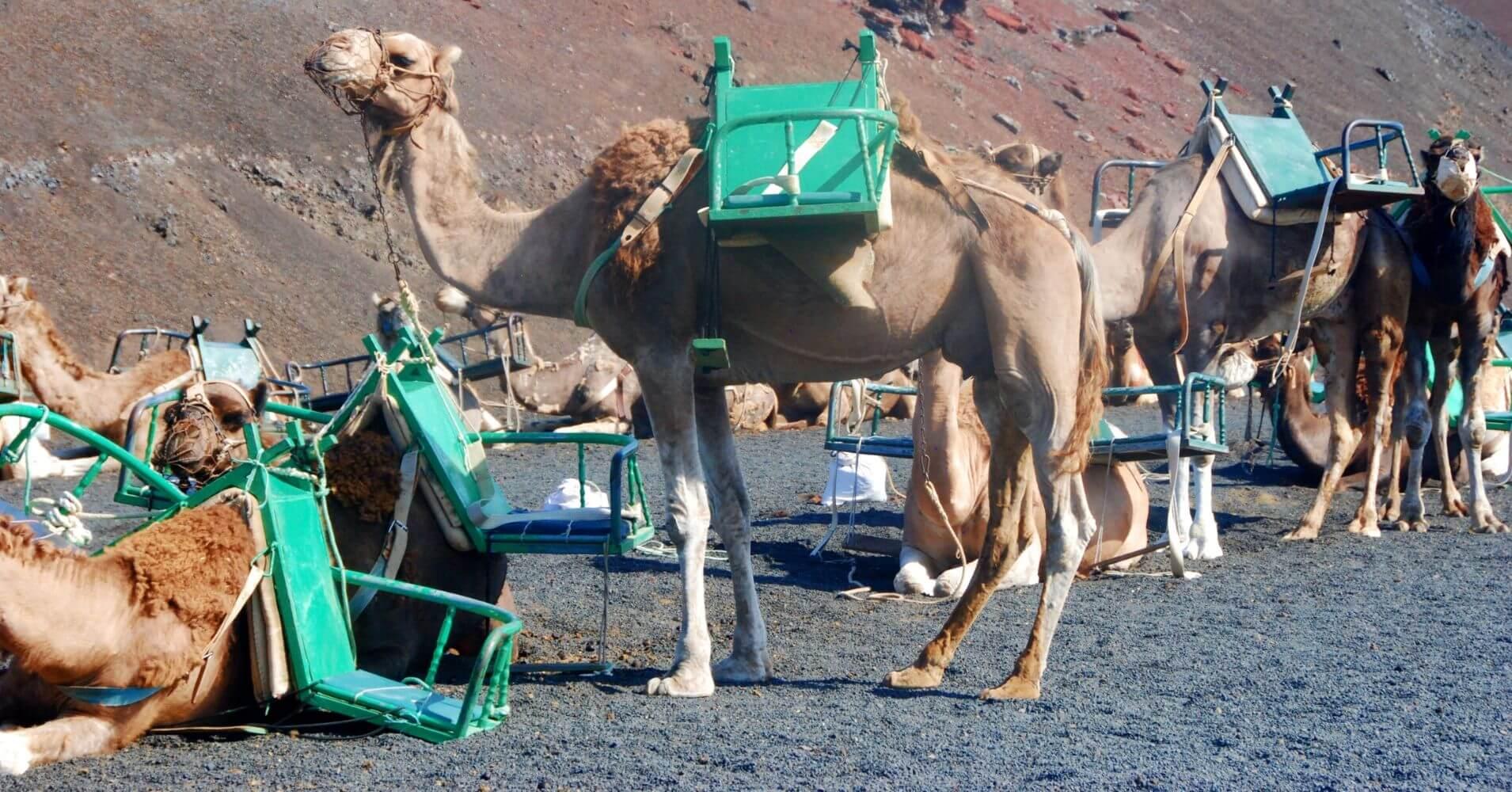 Camellos en Lanzarote, Islas Canarias.