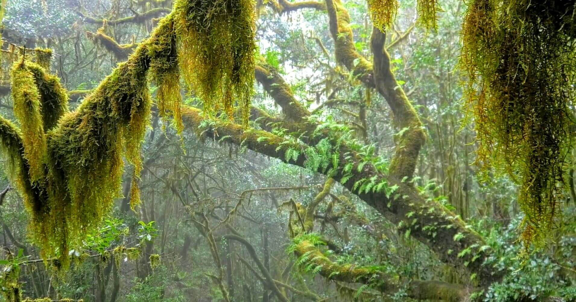 Laurasilva del Parque Nacional de Garajonay. La Gomera, Canarias.