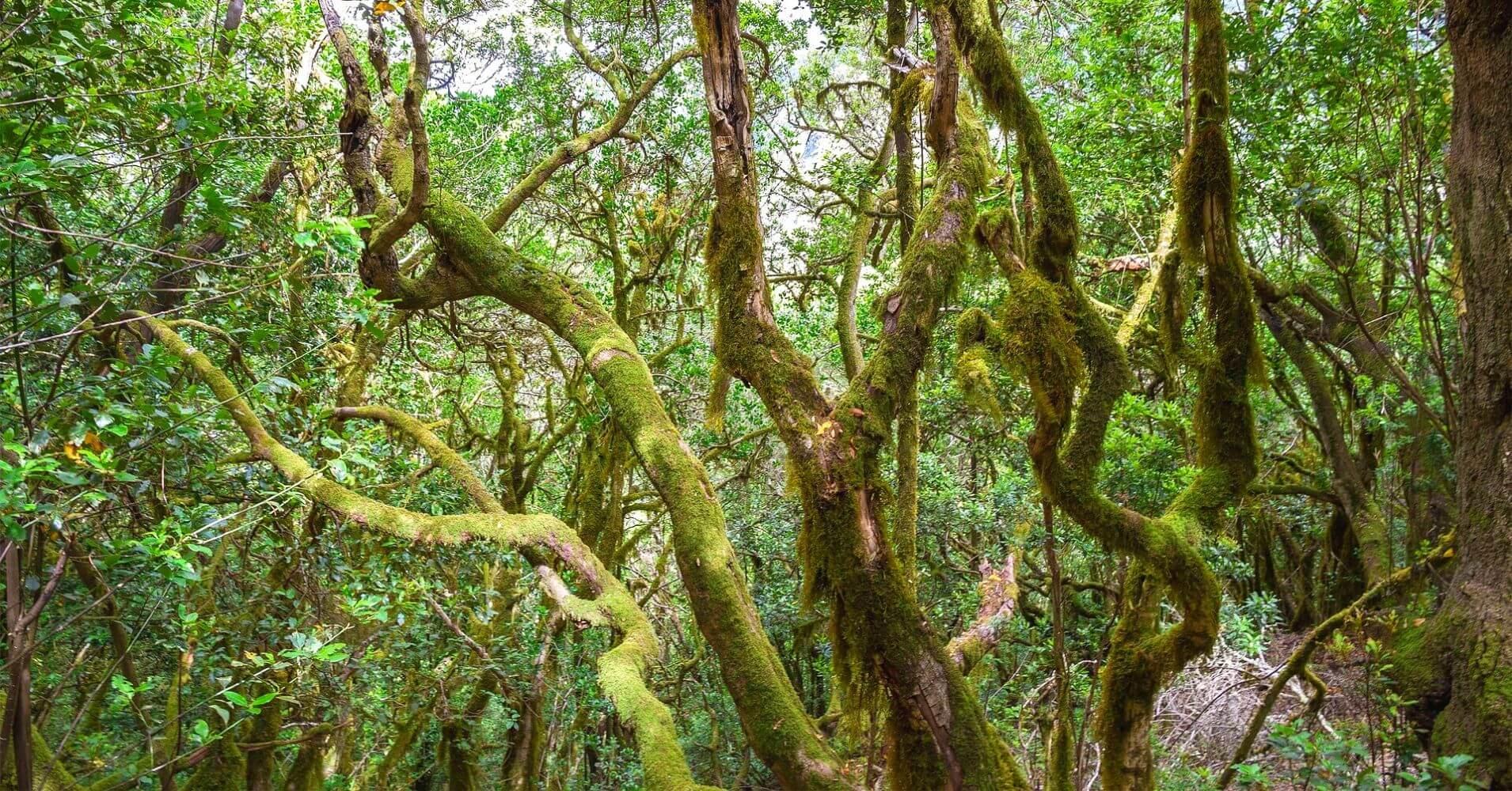 Bosques de Laurasilva. La Gomera. Islas Canarias.