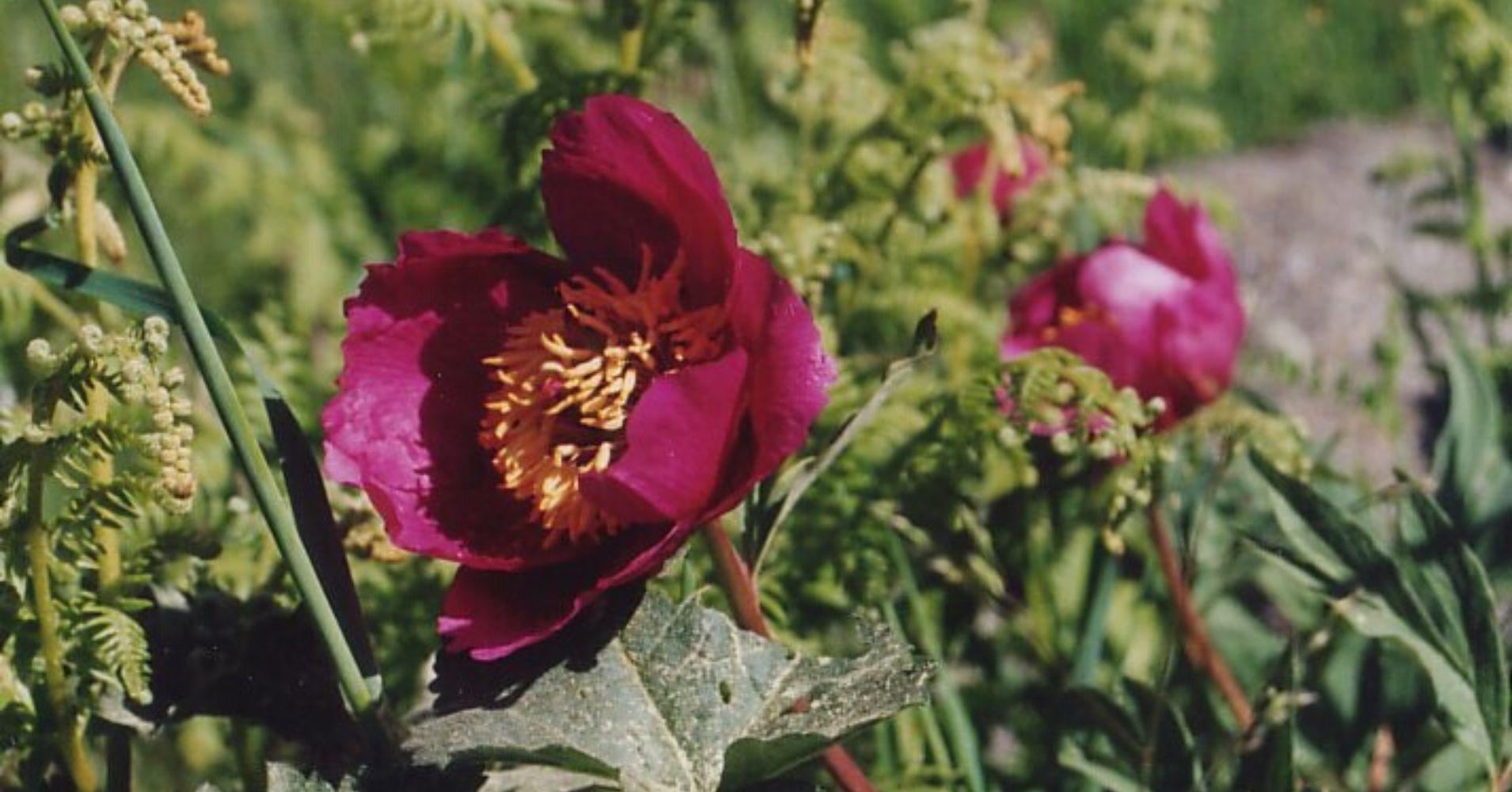 Rosa de Alejandría. La Adrada. Ávila.